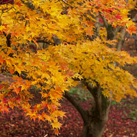 Buy canvas prints of Beautiful colorful vibrant red and yellow Japanese Maple trees in Autumn Fall forest woodland landscape detail in English countryside by Matthew Gibson