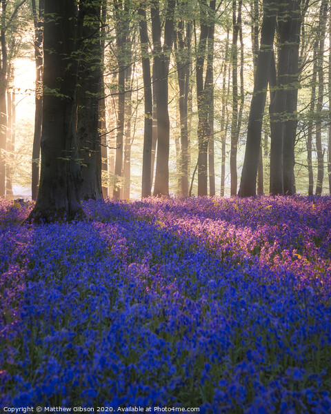 Majestic Spring landscape image of colorful bluebell flowers in woodland Framed Print by Matthew Gibson