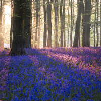 Buy canvas prints of Majestic Spring landscape image of colorful bluebell flowers in woodland by Matthew Gibson