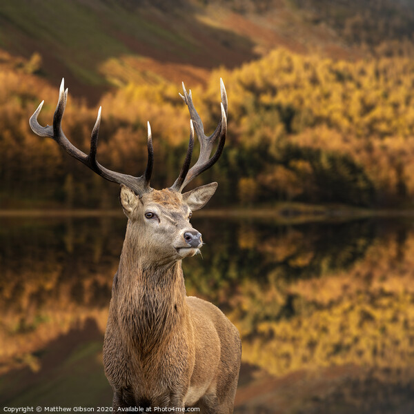 Majestic Autumn Fall landscape of red deer stag Cervus Elaphus in foreground of vibrant forest and lake in background Print by Matthew Gibson
