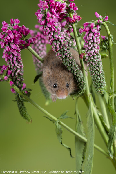 Adorable cute harvest mouse micromys minutus on red flower foliage with neutral green nature background Print by Matthew Gibson