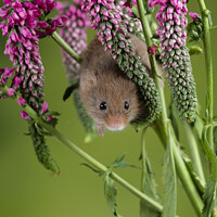 Buy canvas prints of Adorable cute harvest mouse micromys minutus on red flower foliage with neutral green nature background by Matthew Gibson
