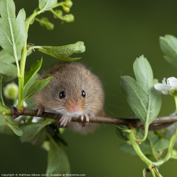adorable cute harvest mice micromys minutus on white flower foliage with neutral green nature background Print by Matthew Gibson