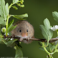 Buy canvas prints of adorable cute harvest mice micromys minutus on white flower foliage with neutral green nature background by Matthew Gibson