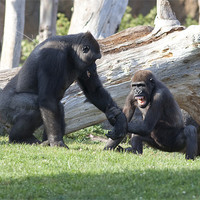 Buy canvas prints of Gorilla fight by Peter West
