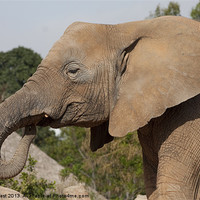 Buy canvas prints of Elephant by Peter West