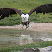 Buy canvas prints of African Fish Eagle by Peter West