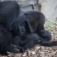 Buy canvas prints of Gorilla with baby 2 by Peter West