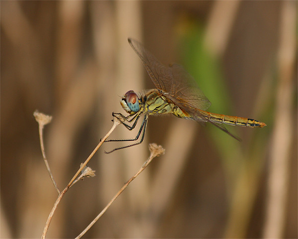 Dragonfly Canvas Print by Peter West