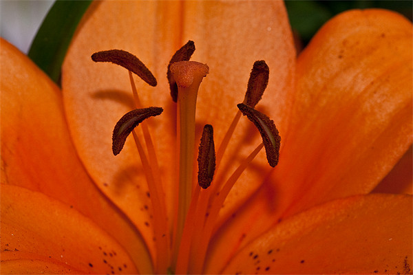 Lilly pollen Canvas Print by Peter West