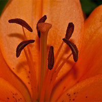Buy canvas prints of Lilly pollen by Peter West