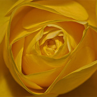 Buy canvas prints of Yellow Rose by Peter West