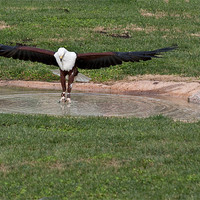 Buy canvas prints of Fish Eagle by Peter West