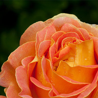 Buy canvas prints of Arlequin Rose by Peter West