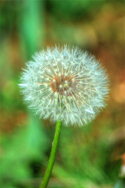 Dandelion Seed Head Canvas Print by Chris Day