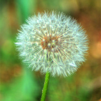 Buy canvas prints of Dandelion Seed Head by Chris Day