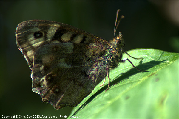 Speckled Wood Canvas print by Chris Day