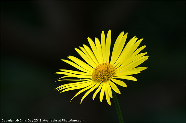 Yellow daisy Canvas print by Chris Day