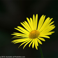 Buy canvas prints of Yellow daisy by Chris Day