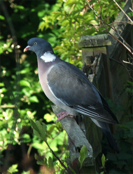 Common Wood Pigeon Canvas print by Chris Day
