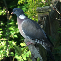 Buy canvas prints of Common Wood Pigeon by Chris Day