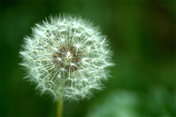 Dandelion seed head 2 Canvas Print by Chris Day