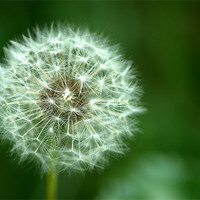 Buy canvas prints of Dandelion seed head 2 by Chris Day