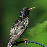Buy canvas prints of Spotted Starling by Chris Day