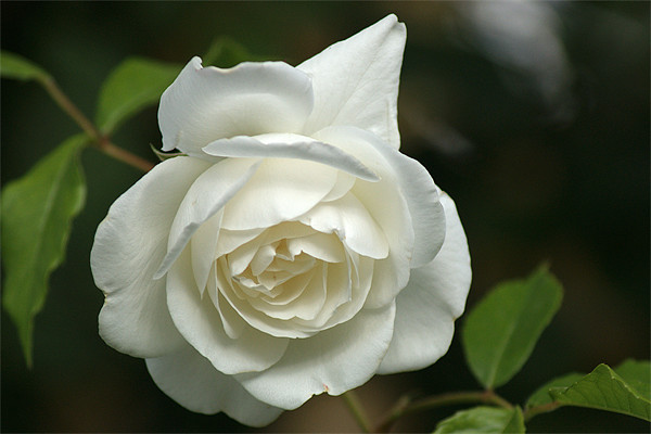 White Rose 4 Canvas print by Chris Day