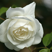 Buy canvas prints of White Rose 4 by Chris Day