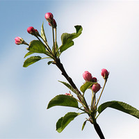 Buy canvas prints of Apple Blossom by Chris Day