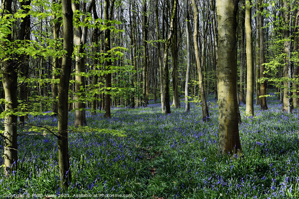 Bluebell Wood in Spring Sunshine. Print by Philip Veale