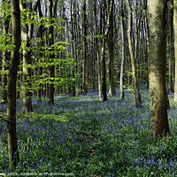 Buy canvas prints of Bluebell Wood in Spring Sunshine. by Philip Veale
