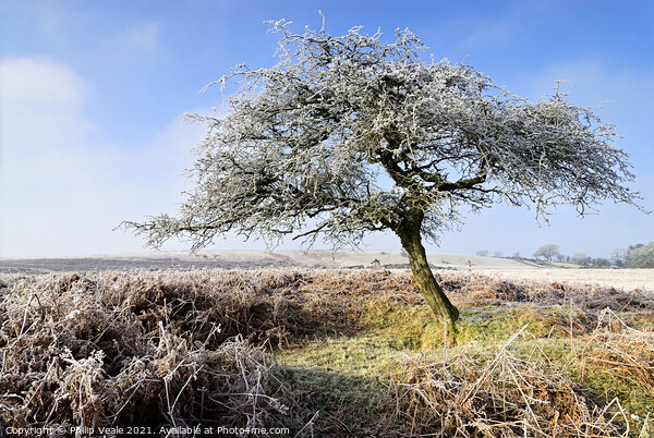 Frost covered tree on a winter morning. Acrylic by Philip Veale