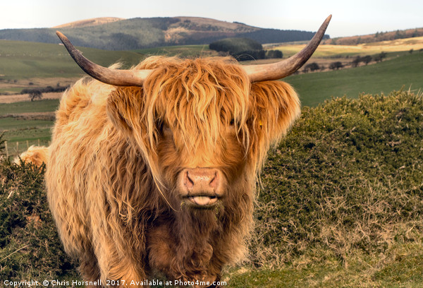 Highland Cattle Canvas print by Chris Horsnell