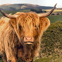 Buy canvas prints of Highland Cattle by Chris Horsnell