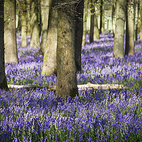 Buy canvas prints of Bluebell Wood  by Jim Key