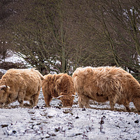 Buy canvas prints of Norfolk Highland Cows by Jim Key