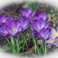 Buy canvas prints of Crocuses on a Sunny Day by Jim Key