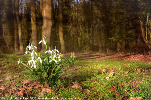 Snowdrops in  Woodland Canvas print by Jim Key