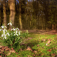 Buy canvas prints of Snowdrops in  Woodland by Jim Key