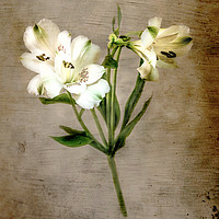 Buy canvas prints of White Lily by Jim Key