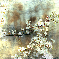 Buy canvas prints of White Hawthorn on Blue by Jim Key