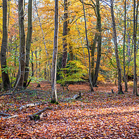 Buy canvas prints of Golden Beech Leaves by Jim Key