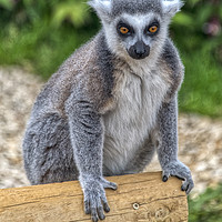 Buy canvas prints of Ring Tailed Lemur by Dave Williams