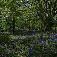 Buy canvas prints of Bluebell Wood by Derek Daniel