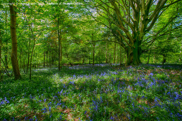 Bluebell Wood Print by Derek Daniel