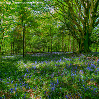 Buy canvas prints of Bluebell Wood by Derek Daniel