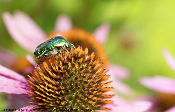 Bright green Chapfer on a flower of Echinacea Print by Sergii Petruk