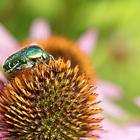 Buy canvas prints of Bright green Chapfer on a flower of Echinacea by Sergii Petruk